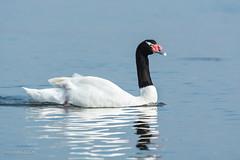 Cisne de Cuello Negro (AllanS.) Tags: chile costa bird nature fauna puerto lago coast mar agua nikon negro ave montt cisne cuello cygnus melancoryphus 55300 d5200 cuellinegro