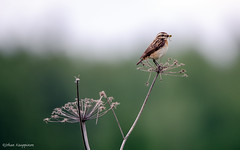 Whinchat (Saxicola rubetra) (- Man from the North -) Tags: food bird nature animal finland insect nikon outdoor wildlife explore worm tamron westcoast whinchat ostrobothnia saxicolarubetra explored nikond7000 finnishwildlife tamron150600mmf563spvcusd