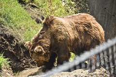 (Edson-Garcia) Tags: bear wild forest mammal zoo oso wildlife animales grizzlybear animalessalvajes reinoanimal