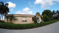 Leaping Brody (Don Burkett) Tags: dog pet beagle animal puppy outdoors hound brody dogplayingball