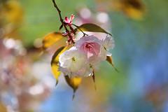 Cherry Blossoms (lfeng1014) Tags: light macro closeup colours dof bokeh depthoffield sakura cherryblossoms macrophotography kariyapark sakurablossom canon5dmarkiii 70200mmf28lisii