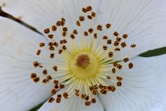 Stamens and pistil (ramosblancor) Tags: naturaleza nature botnica botany flor flower estambres pistilo stamens pistil closeup macro rosaceae madrid