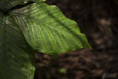 leaf (RenField - Toel-ul Laputa) Tags: green art nature japan 50mm leaf nikon sigma kagoshima    jpn kyusyu        d800e