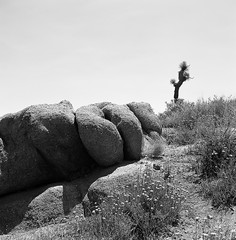 Shaped rock (alex_foinc) Tags: flowers sky blackandwhite tree monochrome rock analog zeiss mediumformat desert noiretblanc outdoor tmax joshuatree paths ikonta filmisnotdead