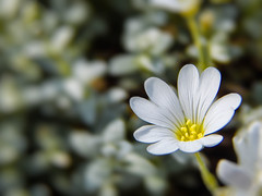 DSCN5932 (nownowfatcat) Tags: wonderful spectacular amazing pretty artistic blossom decorative gorgeous awesome handsome divine attractive stunning excellent bloom sensational lovely charming elegant exquisite incredible graceful goodlooking breathtaking extraordinary impressive aweinspiring marvelous magnificent imposing alluring delightful stirring unbelievable shocking remarkable winsome surprising stupendous fearsome glamorous ravishing mindboggling astounding aesthetic astonishing mindblowing beguiling phenomenal staggering engaging floweret floret  startling wondrous formidable appealing arresting jawdropping bewitching dreaded prepossessing stupefying