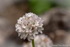 Engelsgras (Chantal van Breugel) Tags: macro bloemen flevoland nop armeria maritima engelsgras canon100mm espel eigentuin canon50d