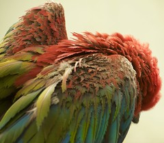 bird feathers (Pejasar) Tags: bird feathers macaw color zoo tulsa oklahoma