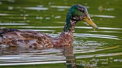 RoughOne (jmishefske) Tags: greenfield park drake rough june d7100 westallis pond wisconsin nikon lagoon mallard milwaukee 2016 county juvenile