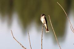 Eastern phoebe by pond (Radar Boy) Tags: bird pond phoebe eastern