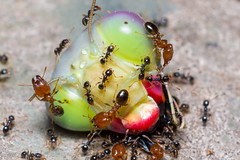 Big Headed Ants on Mantis Head (Teale Britstra) Tags: macro nature gardens canon mantis insect wildlife ant australian australia queensland botanicalgardens gladstone prayingmantis botanicgardens mantid centralqueensland tondoon extensiontubes 600d pheidole megacephala 55250mm pheidolemegacephala tondoonbotanicgardens bigheadedant coastalbrownant macrokosm