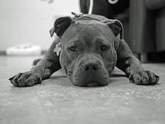Frida_13 (AbbyB.) Tags: dog pet animal newjersey canine pitbull doggy shelter shelterpet petphotography easthanovernj mtpleasantanimalshelter