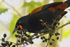 IMGP1187 Saddleback (Tieke) feeding on Tarata fruit Zealandia Wellington NZ 05-06-16 (Donald Laing) Tags: new birds native donald zealand wellington sanctuary laing zealandia