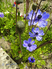 Flowers in Balchik botanical garden, Bulgaria (cod_gabriel) Tags: blue flower bulgaria jardimbotnico botanicalgarden hortusbotanicus bulgarie jardnbotnico balchik  ortobotanico botanischergarten bulgarije bulgarien dobrudja bulgaristan bugarska balcic  balcsik  bugaria dobrogea dobroudja   ogrdbotaniczny   cadrilater bulgria botanisktrdgrd grdinabotanic botanikbahesi    dobruda dobruca dobruja  dobruda   balik balchikbotanicalgarden    dobrudzsa dobrugia dobroedzja dobrudzja   grdinbotanic   baczik baltsjik  kebunbotani bulgarianriviera baltik  gradinabotanicabalcic    rivierablgara
