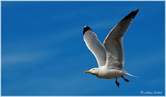 Fly Now III (lukiassaikul) Tags: wildlifephotography wildanimals wildbirds largebirds seabirds urbanwildlife seagull herringgalls fly flight sky bluesky