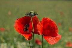 Papaver rhoeas L. / mak polny (n_kot) Tags: flowers maki bee poppy kwiaty papaver flowersplants kwiat