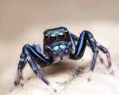 IMG_2891 (Le Anh The) Tags: portrait macro nature canon insect see spider nice eyes wildlife small diffuser jumpingspider 250 selfie exp raynox250 ef100mm 100l flickrsbest flashdiffuser 40d canon40d macrodreams macroword diydiffuserflash