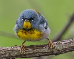 Don't mess with me (Explored) (Fred Roe) Tags: nature birds wildlife birding birdwatching warbler birdwatcher northernparula mageemarshwildlifearea nikond7100 setophagaamericana nikkorafs80400mmf4556ged lca71d0887