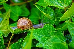 Chiocciola (xiaolifra) Tags: lumaca chiocciola nature natura landscape foglie leef leaves