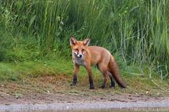 Red Fox 49944 (wildlifetog) Tags: uk red wild england nature canon european martin britishisles wildlife fox isleofwight southeast zorro seaview blackmore renard wildlifeeurope ramsarsite herseynaturereserve eos7dmkii mbiow
