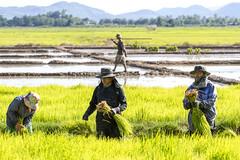 ChiangRai_7811 (JCS75) Tags: canon thailand asia asie ricefields chiangrai thailande rizire