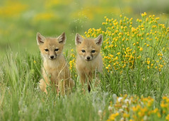 Swift Kits side by side (girltwin) Tags: cute yellow nikon colorado wildlife fox kits foxes grasslands d500 swiftfox pawneenationalgrasslands pawneegrasslands