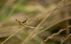 Le saut (Sandrine_L) Tags: naturaleza nature canon bug natura cricket arthropoda insecte insecto grillo criquet 1200d