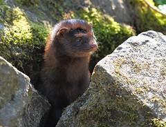Jock the Mink (sarniebill1) Tags: fife mink riverleven markinch jockthemink fifewaterways