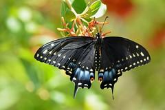 Black Swallowtail Butterfly 2 DSC_0422 (blthornburgh) Tags: nature butterfly garden outdoors backyard florida swallowtail blackswallowtail easternblackswallowtail thornburgh