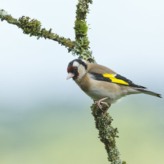 Goldfinch ~ Explored (Margaret S.S) Tags: european goldfinch