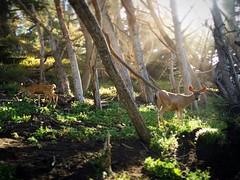 Summer Solstice at Point Lobos State Park (mstarrkc) Tags: california monterey bigsur deer carmel pointlobos summersolstice iphone6