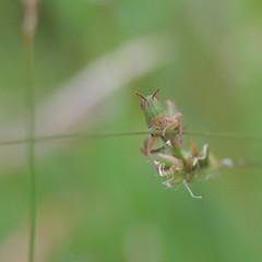 Photo of Grasshopper, Sandy, Bedfordshire