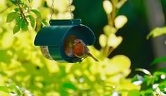 Garden visitor..   Nikon d5100 (davidheath01) Tags: green red picture photo photography photograph england uk essex london colour color nikond5100 nikon robin birds garden gardenbirds