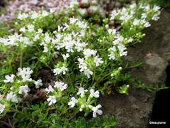 Thymus serpyllum var. albus