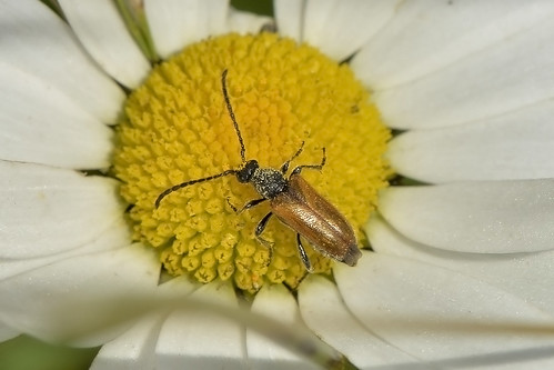 Longhorn Beetle — Pseudovadonia livida