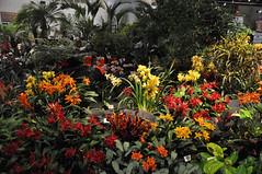 2016-03-11_0293n_waldor (lblanchard) Tags: orchid waldor displaygarden 2016flowershow