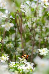 Garden butterfly (mpakarlsson) Tags: nsselfjril small tortoiseshell butterfly bush garden flower insect wings nectar food dof bokeh focus 5dii 5dm2 5dmark2 5dmarkii 85mm