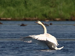 Mute Swan (s_uddin59) Tags: indiana muteswan westlafayette celerybog