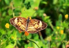 silvery checkerspot along Prairie Farmer Trail IA 854A0743 (lreis_naturalist) Tags: county butterfly reis iowa trail larry farmer prairie silvery checkerspot winneshiek