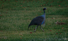 20160624-_MG_2453.jpg (Makki727) Tags: animals birds guineafowl wildlife