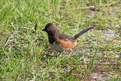 IMG_0105 (wfl_photog79) Tags: honeymoonisland florida dunedin pinellascounty