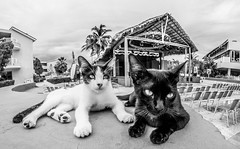 Cats together. (CWhatPhotos) Tags: hotel tryp cayo coco cuba cuban animal wild pet cat feline pussy pussys cats together two holiday holidays cwhatphotos time island hot olympus four hirds water june 2016 photographs photograph pics pictures pic image images foto fotos photography artistic that have which contain digital sky skies clear day sunny sun hols hoteltrypcayococo hoteltryp mono monochrome black white fisheye fish eye wide angle view samyang prime lens feines blackpussy pussyblack catwhite