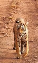 T83-Lightning aka Bijlee (Thirdeye Reflections) Tags: tiger ranthambore tigerreserve royalbengaltiger tigersofindia