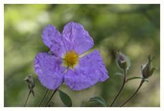 Cistus creticus (s1nano) Tags: flower nature dof purple bokeh creased cistuscreticus nikontc200 tamron90mmspmacrof25 nikond7000