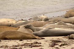 Ano Nuevo Seals (jeffmgrandy) Tags: ocean beach pacific seals anonuevo