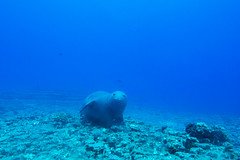 monkseal6Jun22-16 (divindk) Tags: hawaii hawaiianislands kauai lehuacrater neomonachusschauinslandi niihau underwater blueocean cute diverdoug endangeredspecies hawaiianmonkseal lazy marine marinemammal monkseal ocean sea seal underwaterphotography whiskers