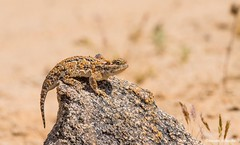This is actually quite comfortable (Photosuze) Tags: reptiles lizards deserthornedlizards hornedlizards resting rocks desert animals nature wildlife california mojave