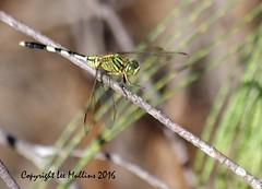 Imgp1989ac (Lee Mullins) Tags: green dragonfly australia bribieisland buckleyshole