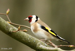 Goldfinch at Styal (claylaner) Tags: bird cheshire goldfinch ngc styal cardueliscarduelis passerine canon60d