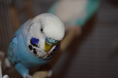 Echo The Budgie (joel7223) Tags: bird budgerigar budgie parakeet bluebudgie