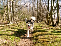 Titus (Darkeyes2000) Tags: uk dog scotland malamute titus alaskan